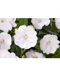 Sunpatiens Vigorous Clear White