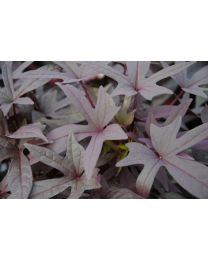 Ipomoea Purple