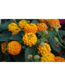 Lantana Calippo Orange