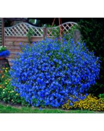 Lobelia Big Blue