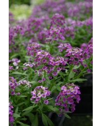 Lobularia Princes in Purple