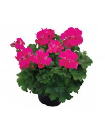 Pelargonia Champion Lila
