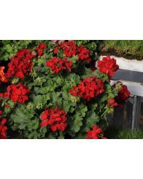 Pelargonia Champion Red Improved
