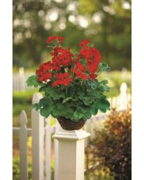 Pelargonia Champion Single Red