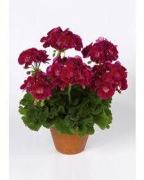 Pelargonia Flower Fairy Velvet