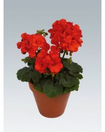 Pelargonia Shocking Orange