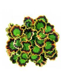Pelargonia Mr.Pollock