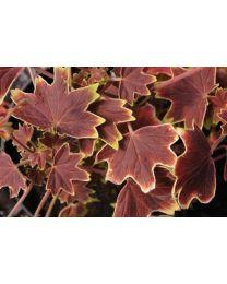 Pelargonia Vancouver
