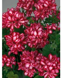 Pelargonia SUNFLORIX Lollipop Chery