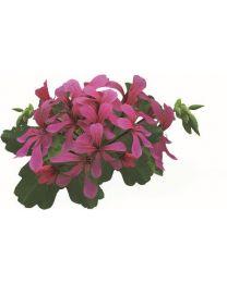 Pelargonia VDP Dark Pink