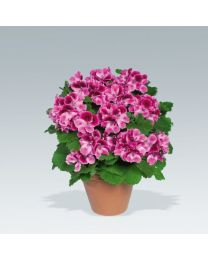 Pelargonia Angielska Aristo Candy