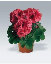 Pelargonia Grandiflora Mikado