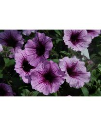 Supertunia Bordeaux