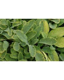 Salvia Icterina