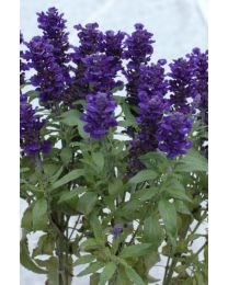 Salvia Midnight Candle