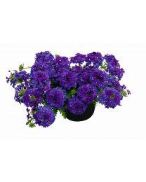 Verbena Vepita Blue Violet