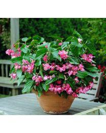 Begonia Dragon Wing Pink 153 szt
