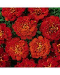 Tagetes Durango Red 153 szt