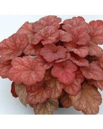 Heuchera Amber Lady