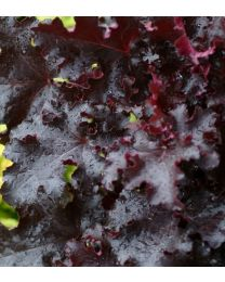Heuchera Black Beauty