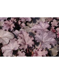 Heuchera Black Knights
