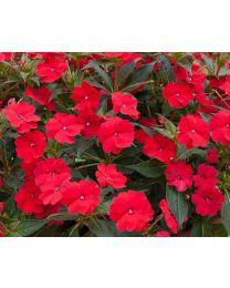 Sunpatiens Vigorous Red
