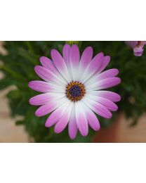 Osteospermum Cape Daisy Pink Bicolor