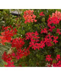Pelargonia Decora Red