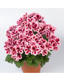 Pelargonia Grandiflora Aristo Strawberry Cream