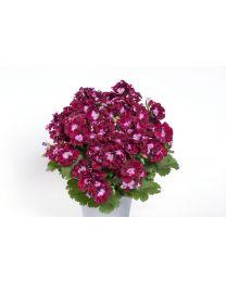 Pelargonia Grandiflora Bermuda Merlot