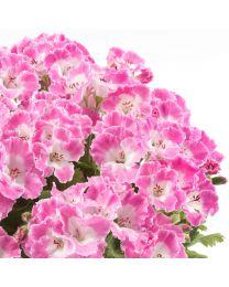 Pelargonia Grandiflora Bermuda Rose