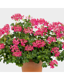 Pelargonia Decora Dark Pink