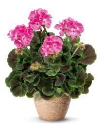 Pelargonia Chocolate Pink