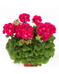 Pelargonia Flower Fairy Red Splash