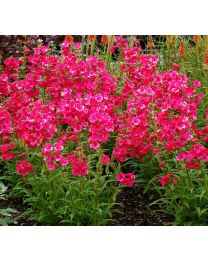Penstemon Cha Cha Hot Pink