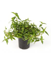 Persicaria Odorata Vietnamese Coriander