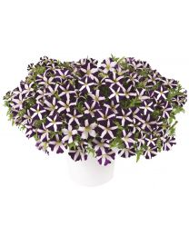 Petunia Amore Purple