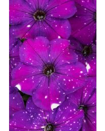 Petunia Constellation Aries