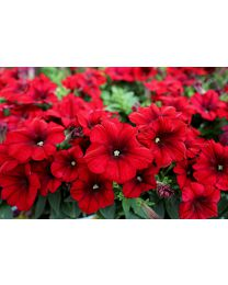 Crazytunia Red Blues