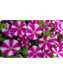 Supertunia Cassis Queen