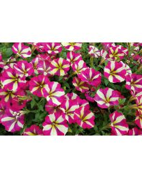 Supertunia Purple Cream