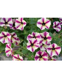 Supertunia seria Star - Dream Star