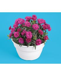 Dianthus Roselly Purple