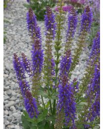 Salvia Blue Bouquetta