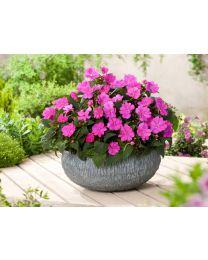 Sunpatiens Compact lilac