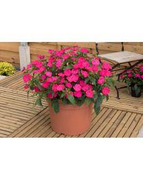 Sunpatiens Vigorous Rose Pink/Magenta