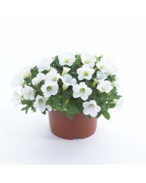 Surfinia Table White