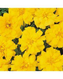 Tagetes Durango Yellow 153 szt