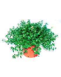 Thymus Pulegioides Foxley