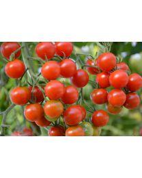 Pomidor (Tomato) Tomaccio